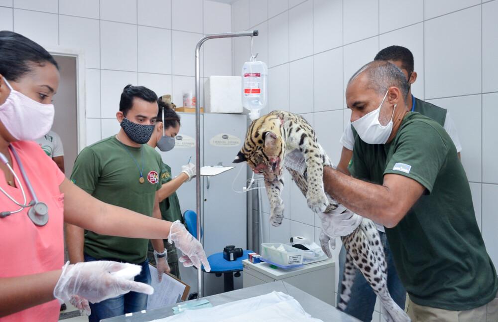 Parque de Dois Irmãos resgata jaguatirica ferida